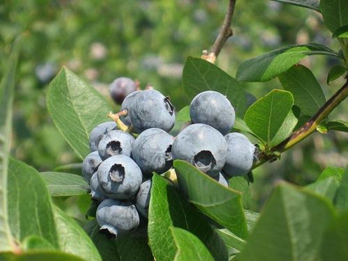 blueberry-5979.jpg