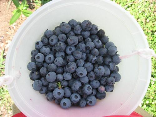 blueberry-5981.jpg